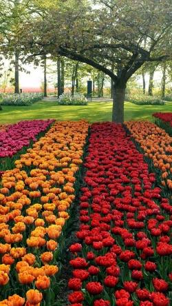 tulips different beds trees park garden