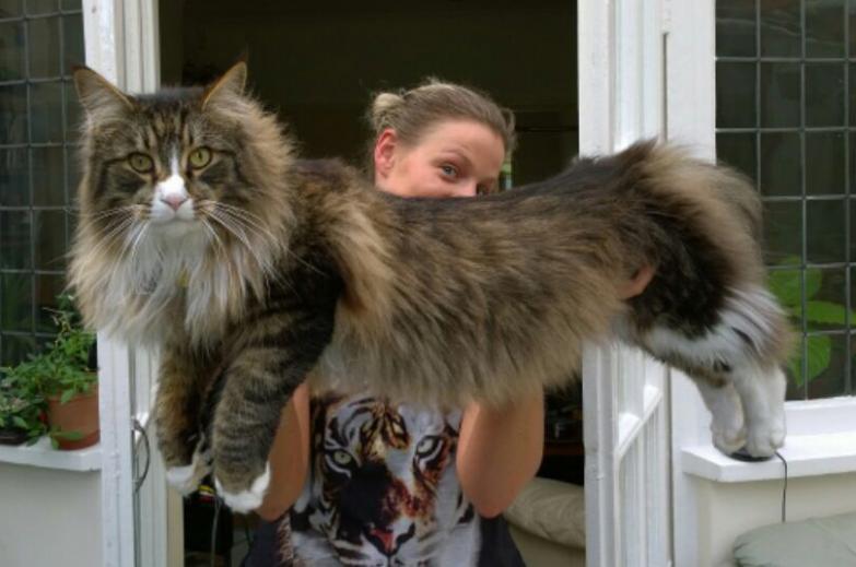 big-maine-coon-cat - Atesclup