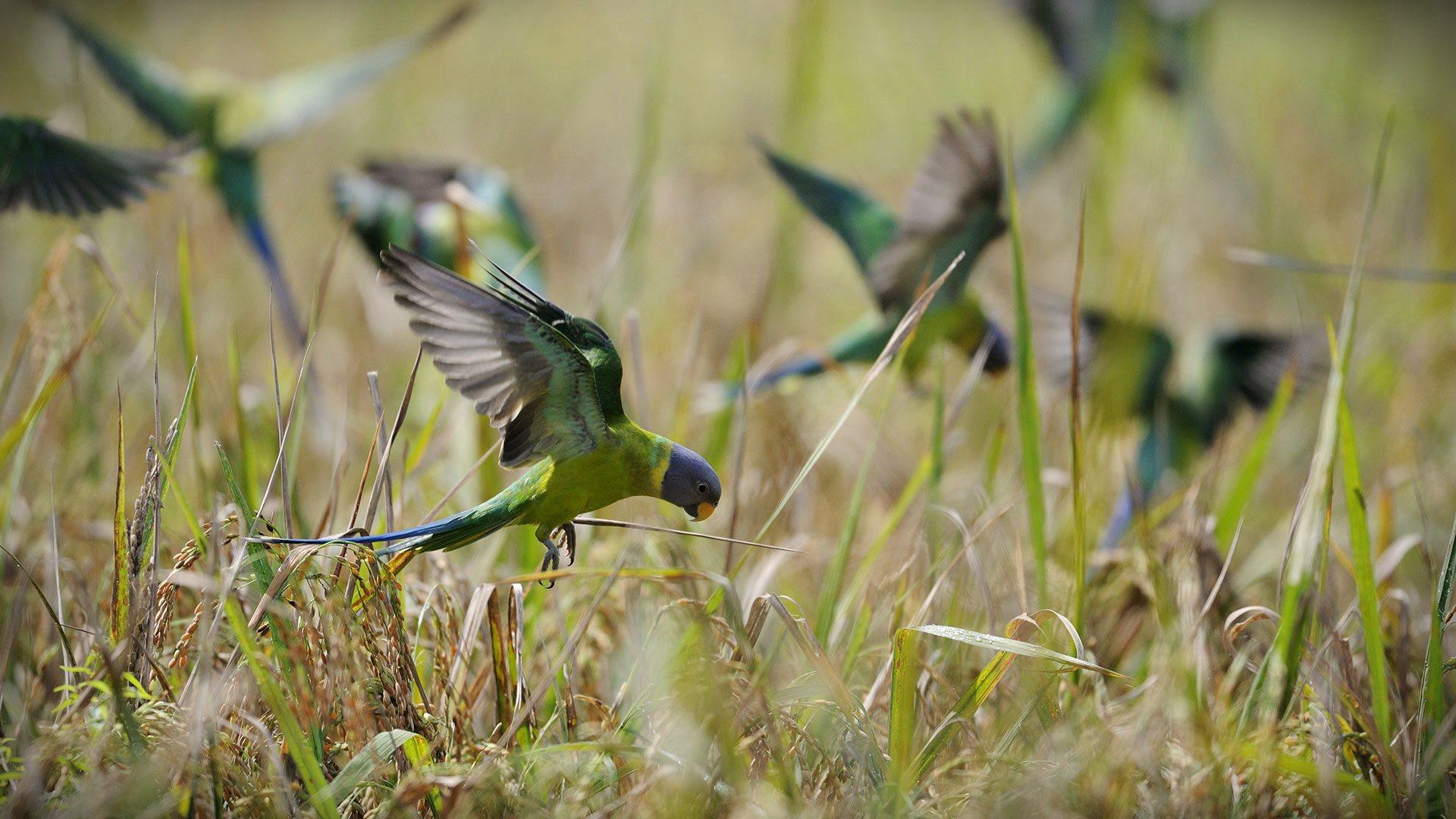 Kerala Parakeet