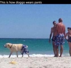 This is how doggo wears pants